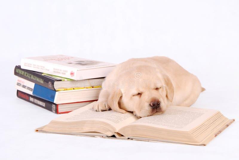 Filhote de cachorro do sono Labrador com livros imagem de stock