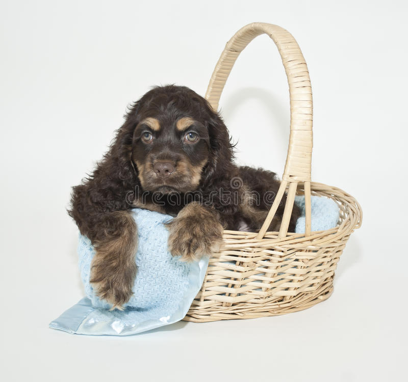 Filhote de cachorro do Spaniel de Cocker fotos de stock royalty free
