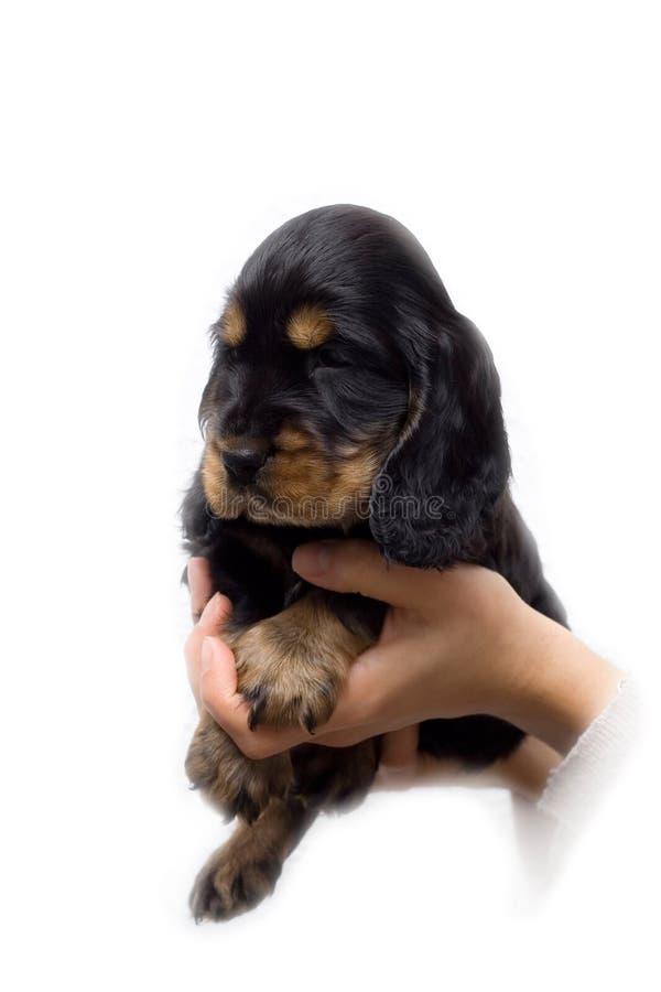 Filhote de cachorro do spaniel de Cocker imagem de stock