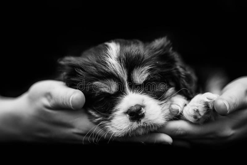 Filhote de cachorro do Spaniel de Cocker que dorme nas mãos humanas imagens de stock royalty free