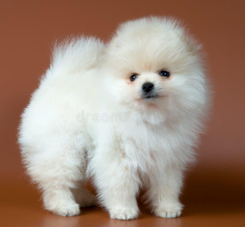 Filhote de cachorro do spitz-cão imagens de stock royalty free