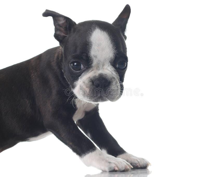 Download Filhote De Cachorro Do Terrier De Boston Foto de Stock - Imagem de preto, expressão: 10050066