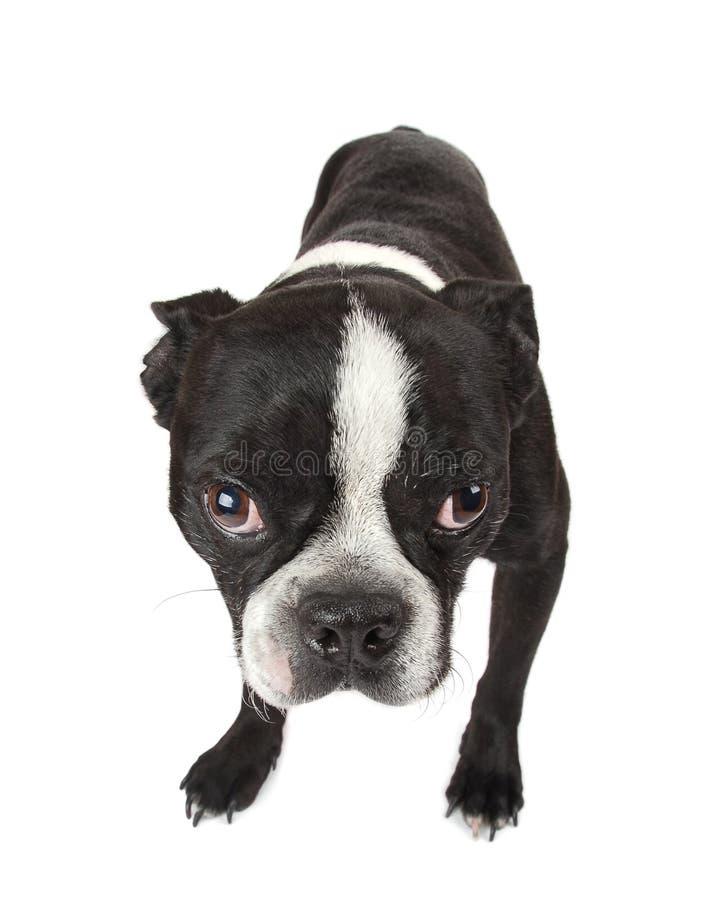 Filhote de cachorro do terrier de Boston imagens de stock