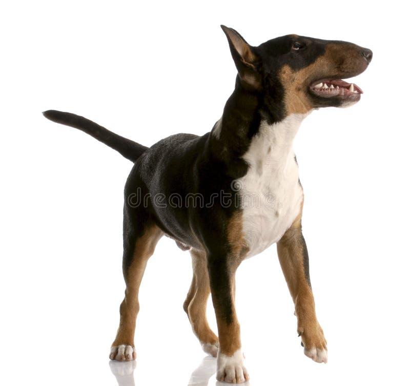 Filhote de cachorro do terrier de Bull imagem de stock royalty free