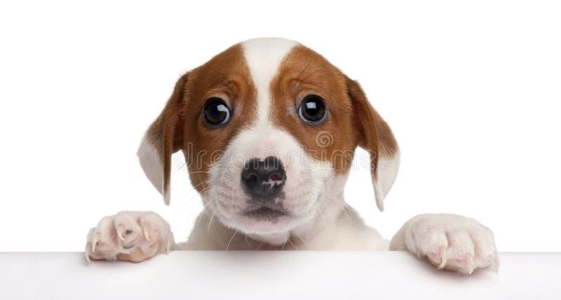 Filhote de cachorro do terrier de Jack Russell, 2 meses velho fotos de stock royalty free