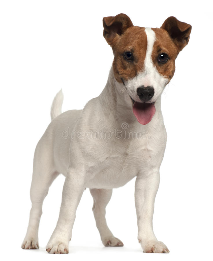 Filhote de cachorro do terrier de Jack Russell fotografia de stock royalty free