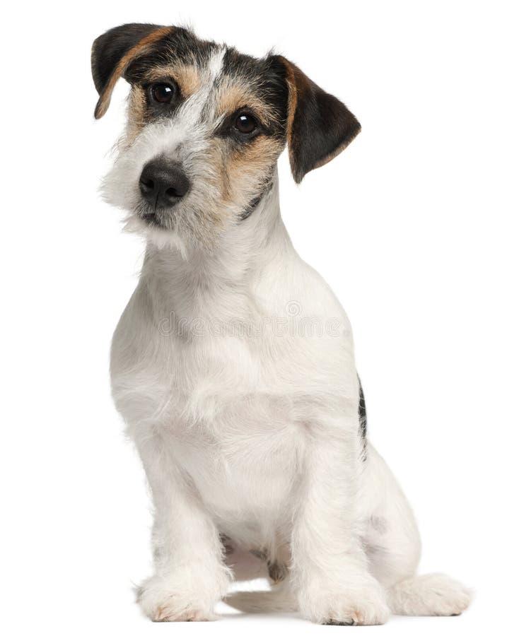 Filhote de cachorro do terrier de Jack Russell, 5 meses velho fotografia de stock
