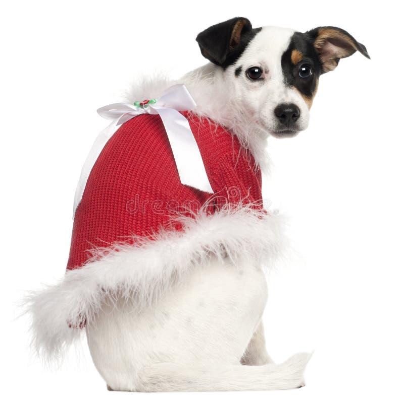 Filhote de cachorro do terrier de Jack Russell, 5 meses velho fotografia de stock royalty free