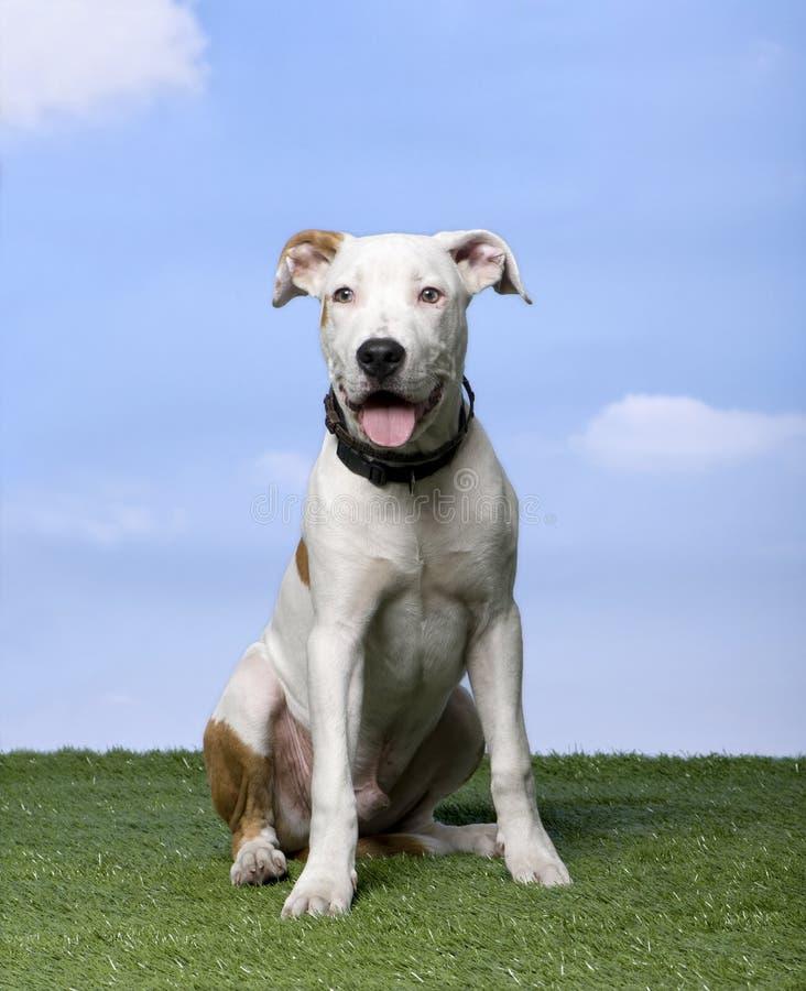 Filhote de cachorro do terrier de Staffordshire americano (5 meses) imagem de stock