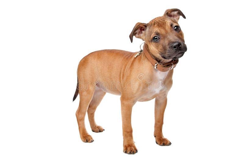 Filhote de cachorro do terrier de Staffordshire Bull fotografia de stock royalty free