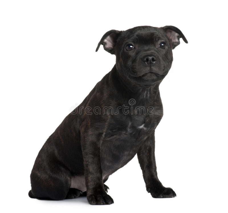 Filhote de cachorro do terrier de Staffordshire Bull, sentando-se foto de stock royalty free