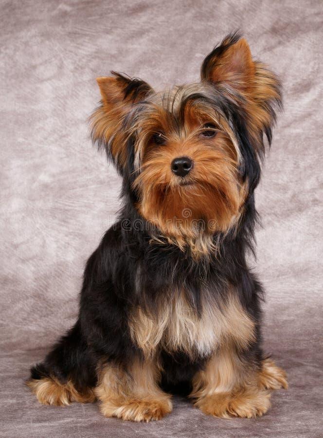 Filhote de cachorro do terrier de Yorkshire foto de stock royalty free