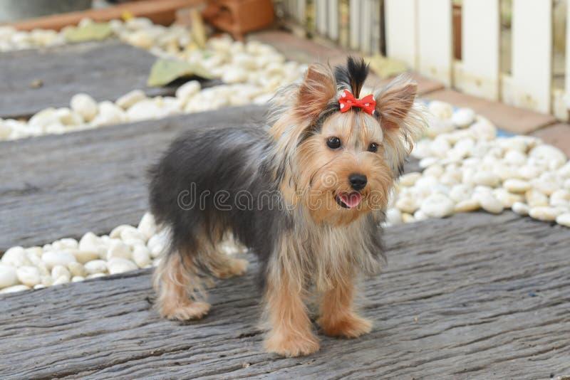 Filhote de cachorro do terrier de Yorkshire fotos de stock