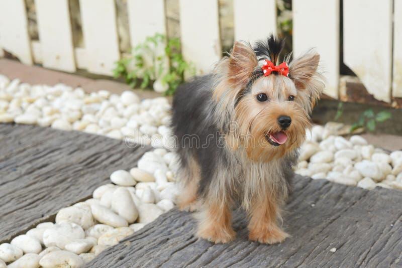 Filhote de cachorro do terrier de Yorkshire fotos de stock royalty free
