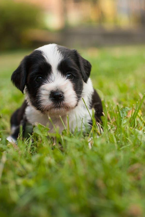 Filhote de cachorro do terrier tibetano imagem de stock