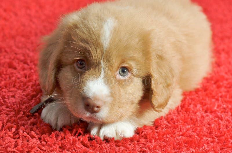 Filhote de cachorro do Toller do pato de Nova Escócia imagens de stock royalty free