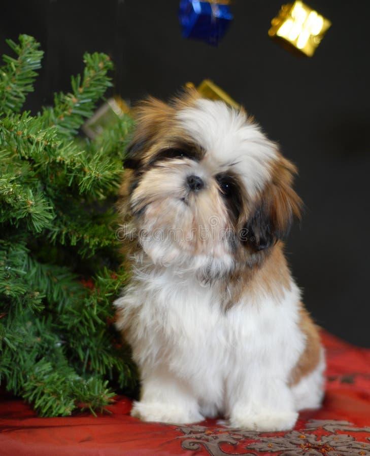 Filhote de cachorro do tzu de Shih no Natal fotos de stock