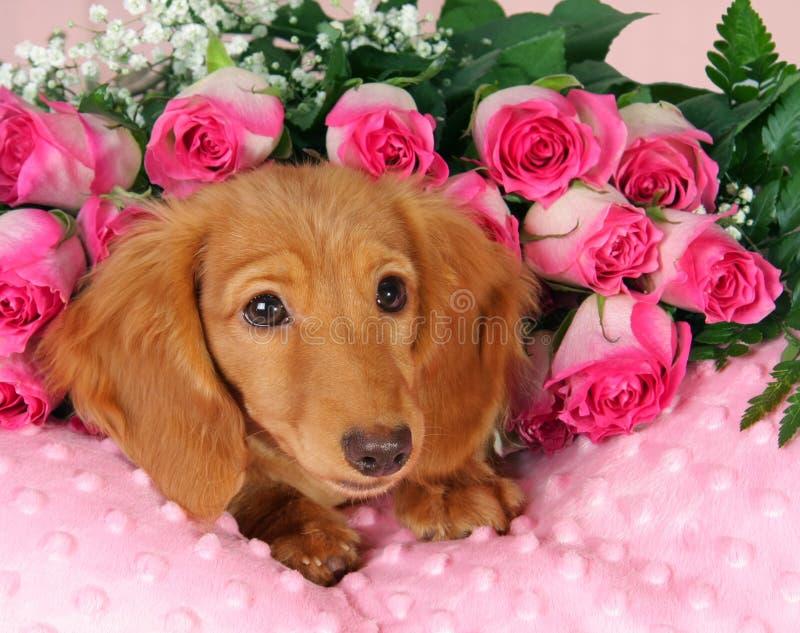 Filhote de cachorro do Valentim fotografia de stock royalty free