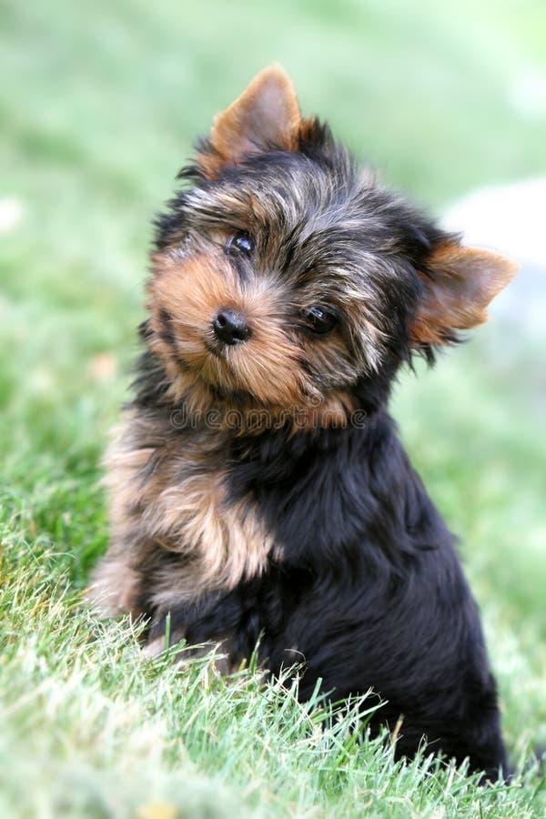 Filhote de cachorro do yorkshire terrier na natureza foto de stock royalty free