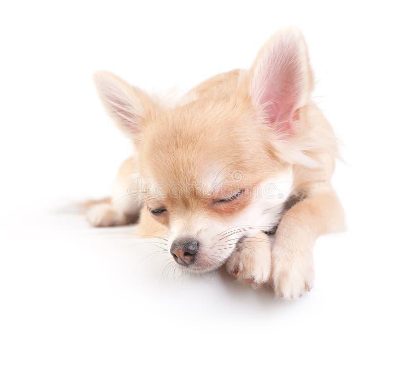 Filhote de cachorro doce da chihuahua imagens de stock royalty free