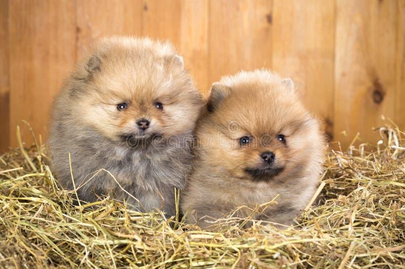 Filhote de cachorro dois pomeranian em uma palha imagens de stock