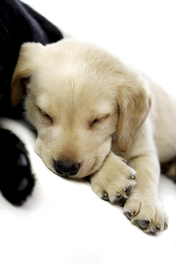 Filhote de cachorro dourado de Labrador foto de stock