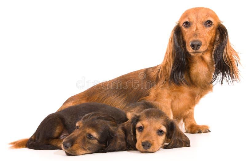 Filhote de cachorro e mamã do Dachshund imagens de stock royalty free
