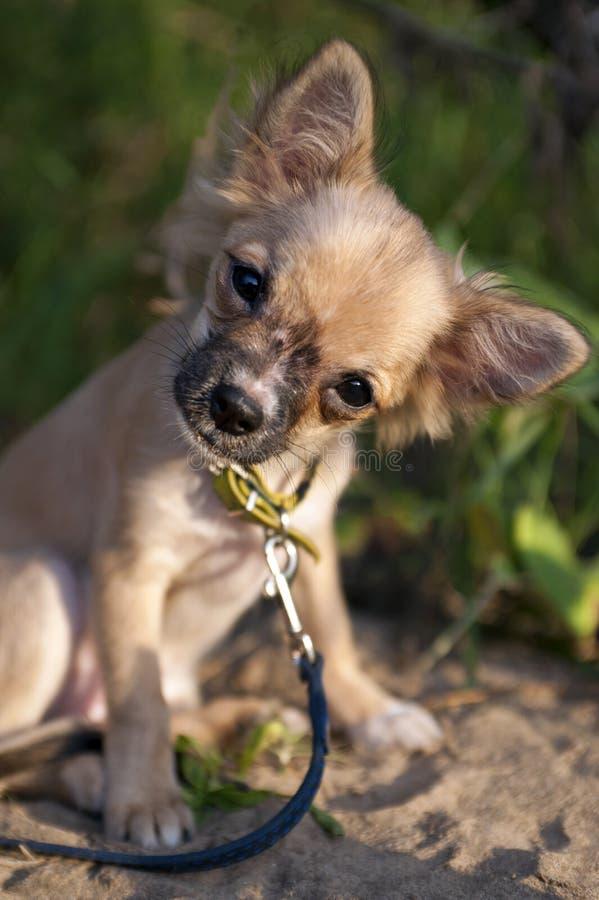Filhote de cachorro engraçado da chihuahua que inclina a cabeça que senta-se na areia imagens de stock royalty free