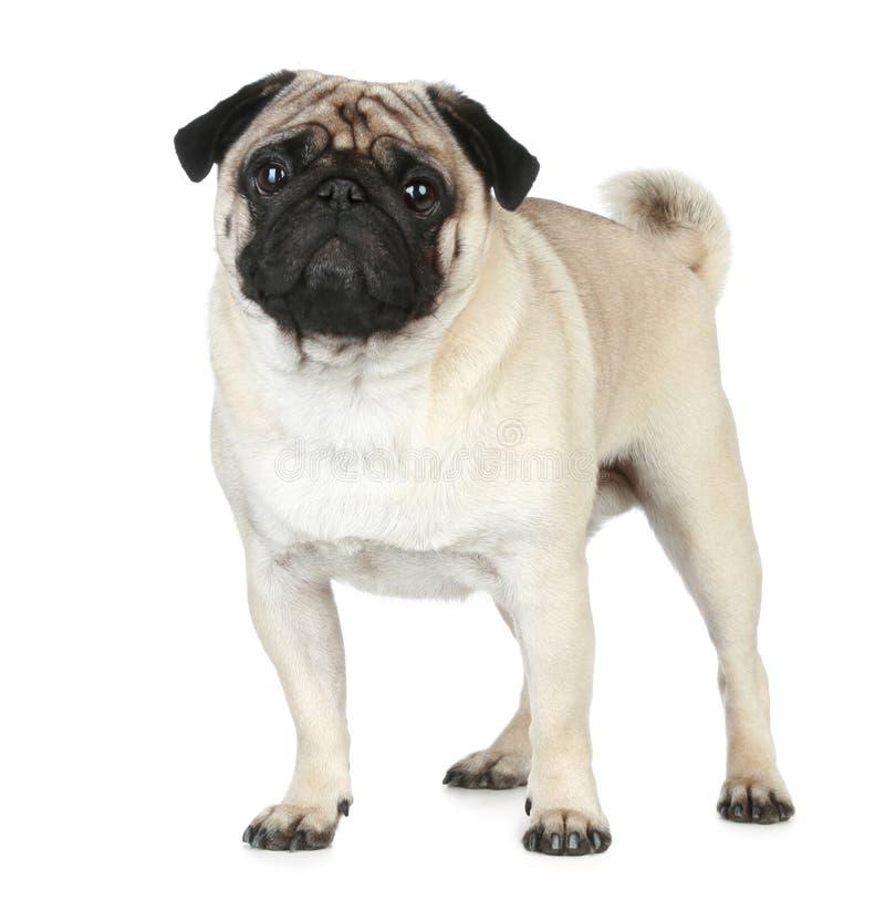Filhote de cachorro engraçado do pug fotografia de stock royalty free