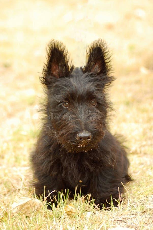 Filhote de cachorro escocês do terrier fotografia de stock royalty free