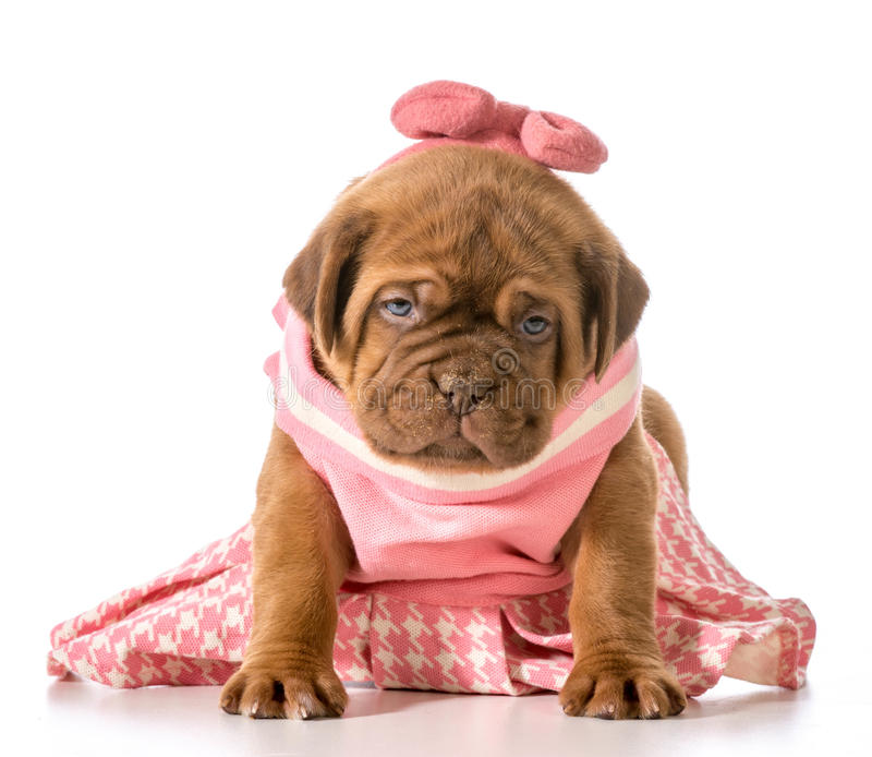Filhote de cachorro fêmea foto de stock