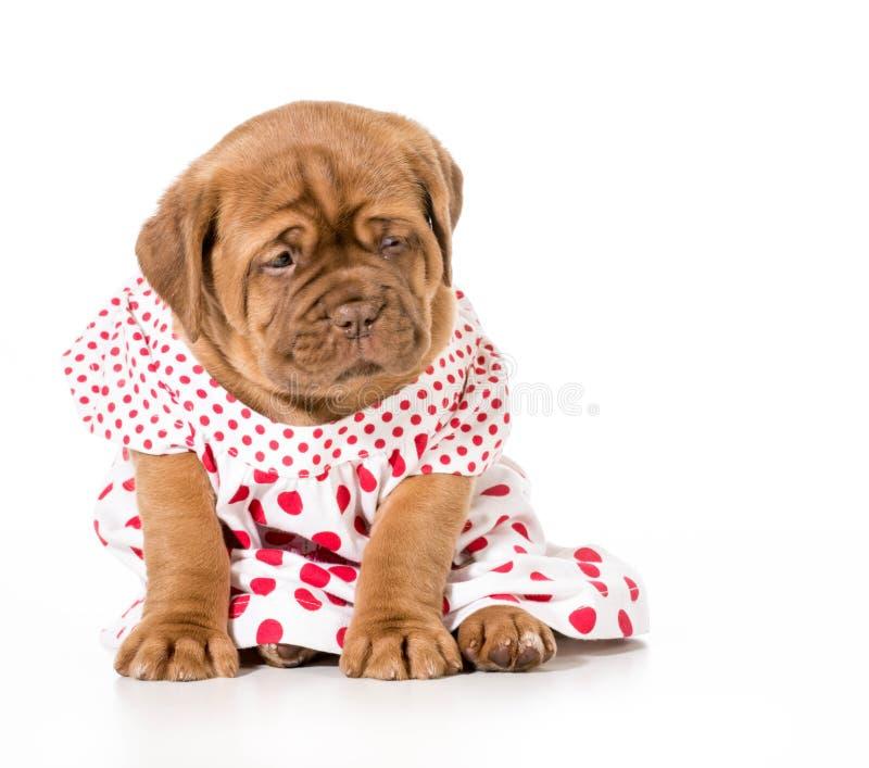 Filhote de cachorro fêmea imagens de stock
