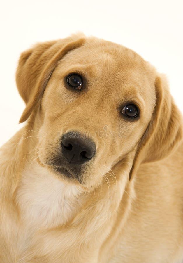 Filhote de cachorro fêmea bonito de Labrador imagem de stock royalty free