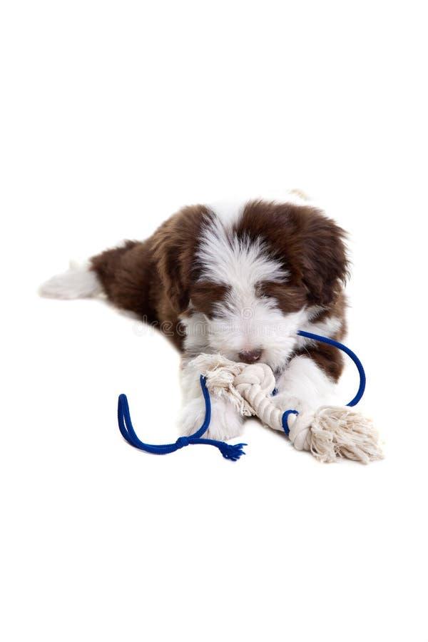 Filhote de cachorro farpado do collie foto de stock royalty free