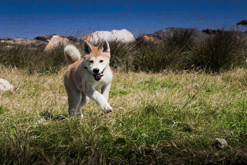 Filhote de cachorro feliz de Akita imagens de stock royalty free