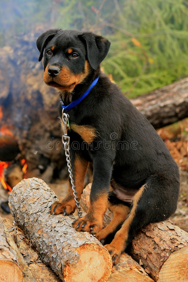 Filhote de cachorro feliz de Rottweiler foto de stock royalty free