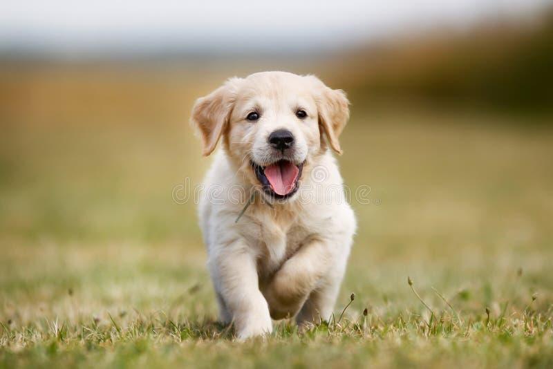 Filhote de cachorro feliz do retriever dourado imagens de stock