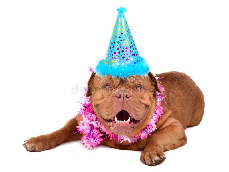 Filhote de cachorro francês do Mastiff com no cone do partido imagem de stock
