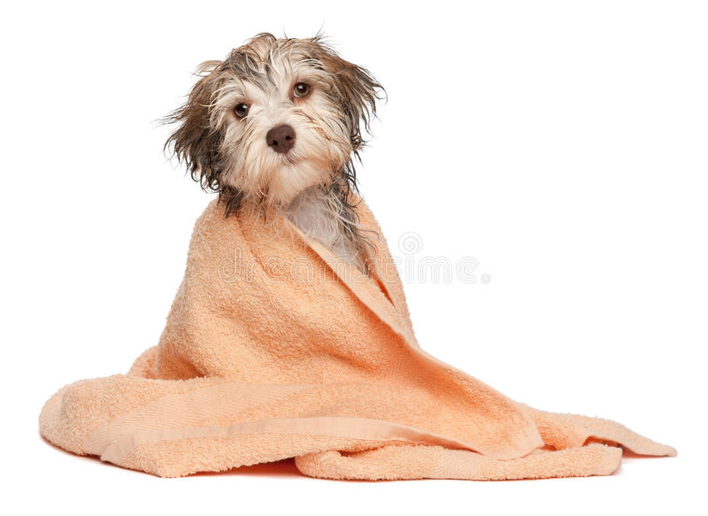 Filhote de cachorro havanese do chocolate molhado após o banho imagem de stock royalty free