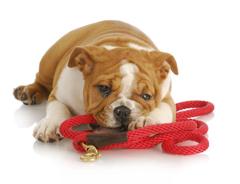 Filhote de cachorro impertinente foto de stock royalty free