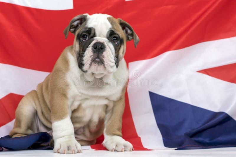 Filhote de cachorro inglês bonito do buldogue foto de stock