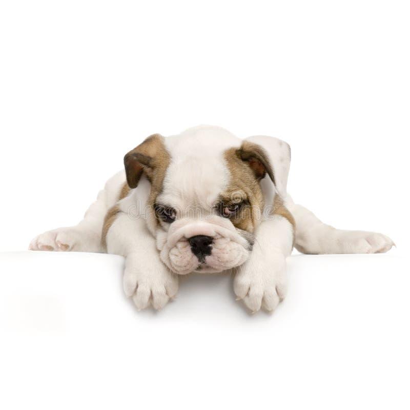 Filhote de cachorro inglês do buldogue imagem de stock