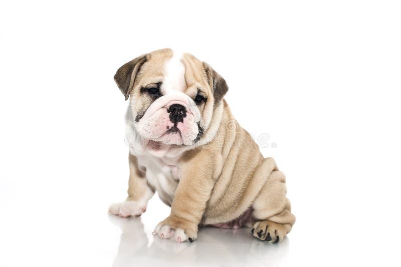 Filhote de cachorro inglês do buldogue isolado imagem de stock royalty free