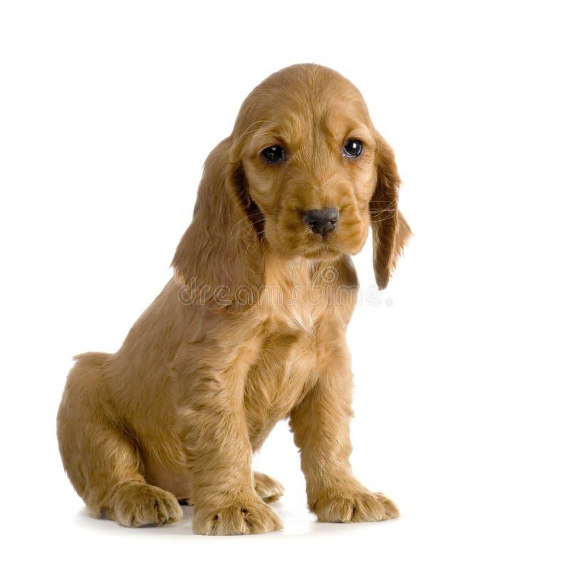 Filhote de cachorro inglês do Spaniel de Cocker fotografia de stock royalty free