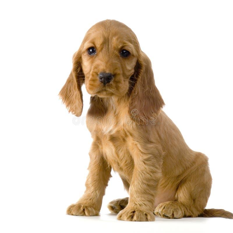 Filhote de cachorro inglês do Spaniel de Cocker imagens de stock