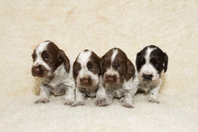 Filhote de cachorro inglês do Spaniel de Cocker foto de stock