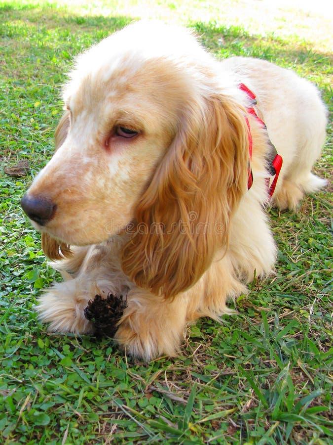 Filhote de cachorro inglês do Spaniel de Cocker imagens de stock royalty free