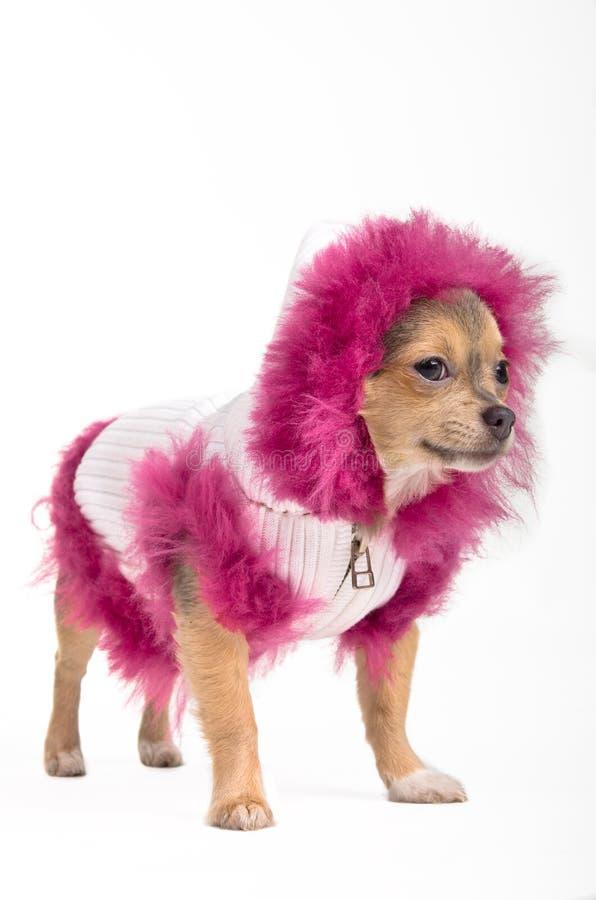 Filhote de cachorro isolado da chihuahua do inverno fotografia de stock royalty free