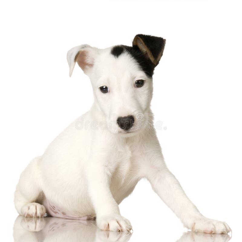 Filhote de cachorro Jack Russel foto de stock