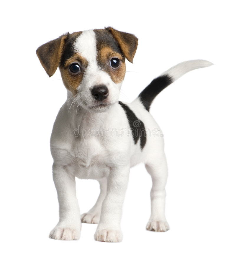 Filhote de cachorro Jack russell (8 semanas) foto de stock royalty free